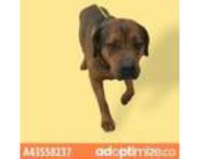 Adopt ZEUS a Brown/Chocolate Rottweiler / Mixed dog in El Paso, TX (31490783)