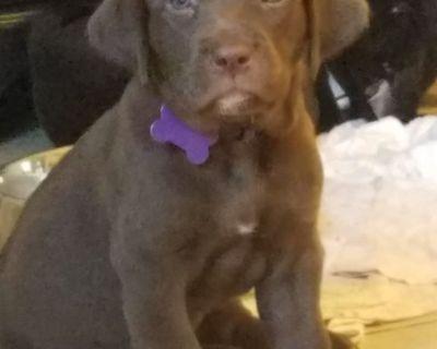 English Labrador Retriever Puppies - Chocolate Female