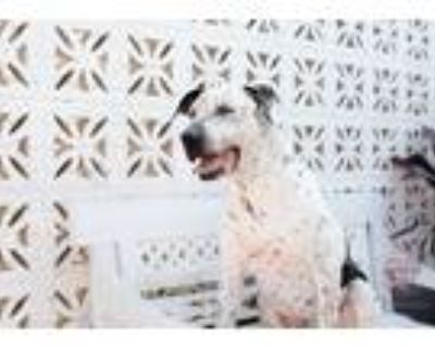 Adopt Freckles a Black - with White Pointer / Mixed dog in Inglewood