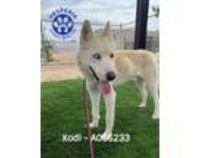 Adopt KODI a White - with Red, Golden, Orange or Chestnut Husky / Mixed dog in