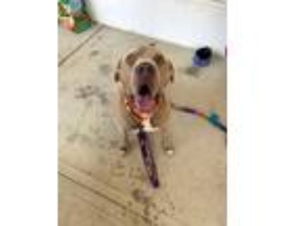 Adopt Bubba Sparks aka Bubs a American Staffordshire Terrier