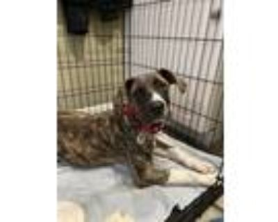 Adopt Lilly- litter of 3 a Brindle Hound (Unknown Type) dog in Norristown