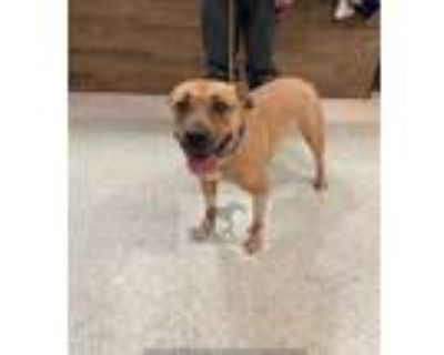 Adopt ZOEY a Tan/Yellow/Fawn - with Black Labrador Retriever / Mixed dog in