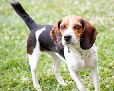 Daisy 11041 - Beagle - Adult Female