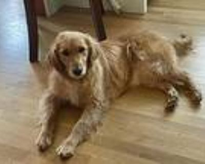 Molly, Golden Retriever For Adoption In Arlington, Massachusetts