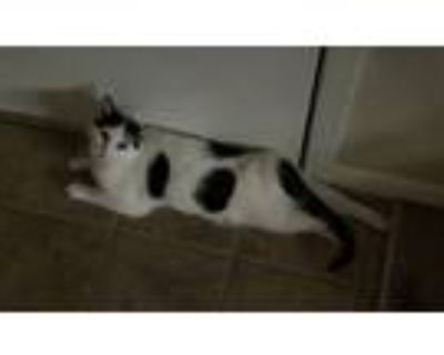 Adopt KittyCat a Black & White or Tuxedo Domestic Mediumhair / Mixed (medium