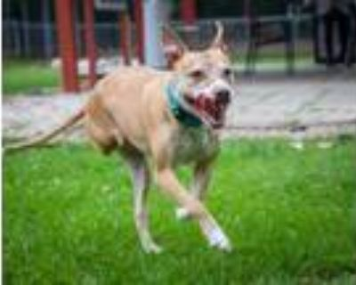 Adopt Amelia the wonderful Tripod! (With Video!) a Pit Bull Terrier