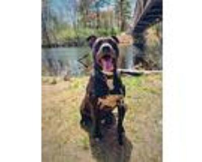 Brody, American Pit Bull Terrier For Adoption In Billerica, Massachusetts