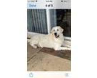 Adopt Bethany a Great Pyrenees