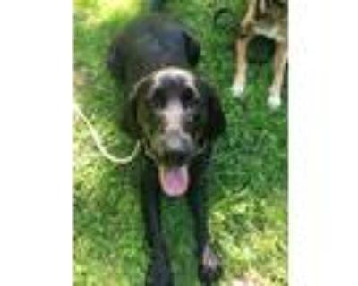 Adopt Sadie a Black Labrador Retriever / Bloodhound dog in Little Rock