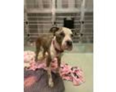 Adopt SNAZZY a Pit Bull Terrier, Mixed Breed