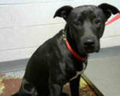 Adopt DON JULIO a Black - with White Labrador Retriever / Mixed dog in Atlanta