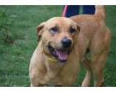 Adopt Tanner HW+ a Tan/Yellow/Fawn Hound (Unknown Type) / Mixed dog in