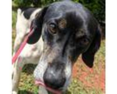 Adopt Gerbil a Black Beagle / Mixed dog in Lynchburg, VA (31675788)