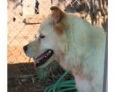 Adopt Nash a Tan/Yellow/Fawn - with White Golden Retriever / Mixed dog in Apple