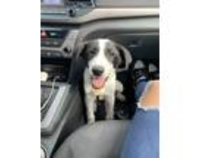 Adopt Chase a Black - with White Collie / Great Pyrenees / Mixed dog in Atlanta