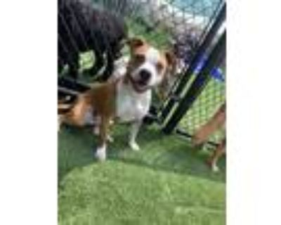 Adopt Lucy a Tan/Yellow/Fawn - with White American Pit Bull Terrier / Mixed dog