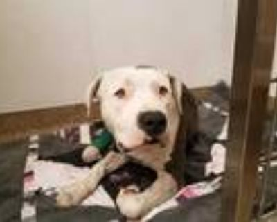 Adopt QUEEN BEE a White - with Gray or Silver American Pit Bull Terrier / Mixed
