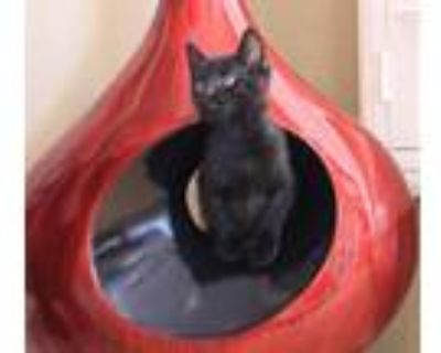 Adopt Willis a Black (Mostly) Domestic Shorthair / Mixed (short coat) cat in
