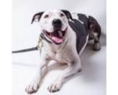 Adopt Princess Daisy a American Staffordshire Terrier, Pit Bull Terrier