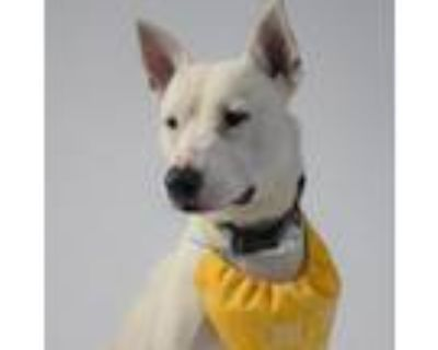 Adopt Tino a White - with Tan, Yellow or Fawn American Pit Bull Terrier / Mixed