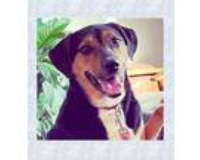 Adopt Dustin Henderson a Spaniel (Unknown Type) / Border Collie / Mixed dog in