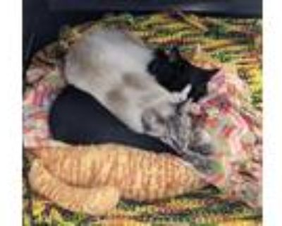 Adopt Johnny and Buster a Domestic Short Hair