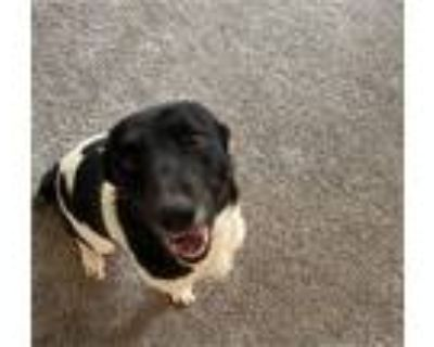 Adopt Winnie a Black - with White Cattle Dog / Mixed Breed (Medium) dog in
