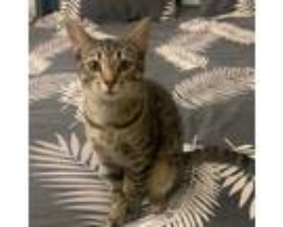 Adopt Billy a Gray or Blue Domestic Shorthair / Mixed cat in Los Angeles