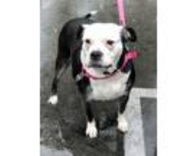 Adopt Fallon~~Best Sidekick a Staffordshire Bull Terrier, American Bully