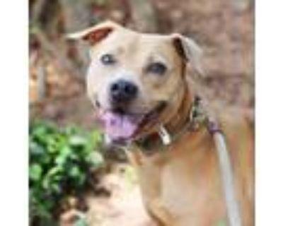 Adopt Princess a Labrador Retriever, Beagle