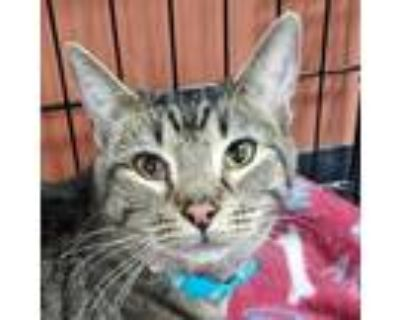 Adopt Dwight a Brown or Chocolate Domestic Shorthair / Mixed cat in Tecumseh