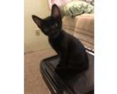 Adopt Pierre a All Black Domestic Shorthair cat in Denver, CO (31521554)