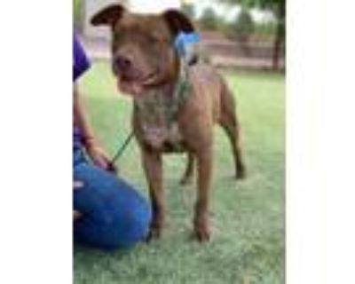Adopt Cannoli a Pit Bull Terrier, Mixed Breed