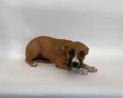 Adopt SUGAR BABY a Terrier