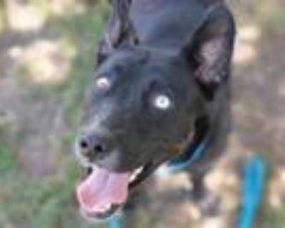 Adopt A1220993 a Australian Cattle Dog / Blue Heeler, Mixed Breed