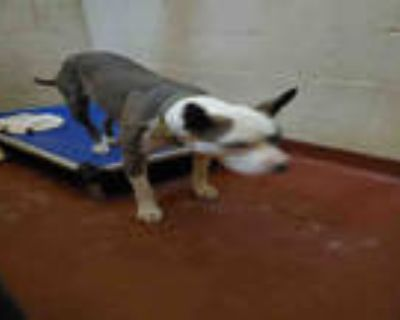 Adopt SAM a White - with Gray or Silver American Pit Bull Terrier / Mixed dog in