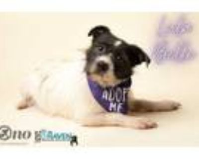 Adopt Abby a Black Fox Terrier (Wirehaired) / Boston Terrier / Mixed dog in