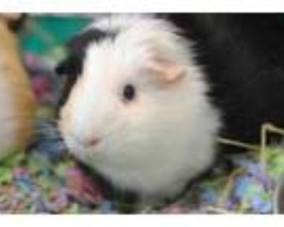 Adopt Dixie a Brown or Chocolate Guinea Pig / Guinea Pig / Mixed small animal in