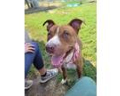 Adopt FERNANDO a Tan/Yellow/Fawn - with White American Pit Bull Terrier / Mixed
