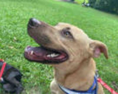 Adopt BOOMER a Tan/Yellow/Fawn Labrador Retriever / Mixed dog in Atlanta