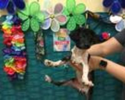 Adopt Dog a Black - with White Poodle (Miniature) / Mixed dog in Thousand Palms