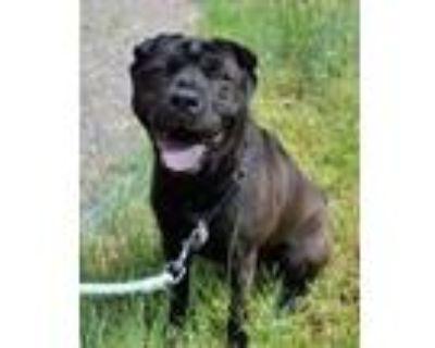 Adopt Daisy Mae a Black Shar Pei / Mixed dog in Cheyenne, WY (31570547)