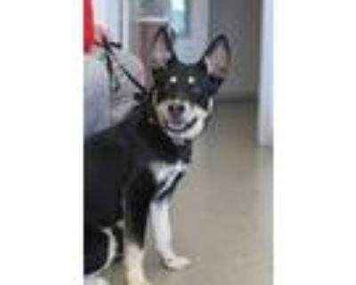 Adopt Brady a Black - with Gray or Silver German Shepherd Dog / Mixed dog in