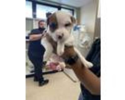 Adopt Holmes (East Campus) a Tan/Yellow/Fawn American Pit Bull Terrier / Mixed