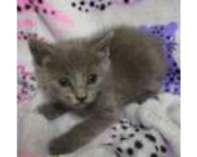 Adopt Iris a Russian Blue, Domestic Short Hair