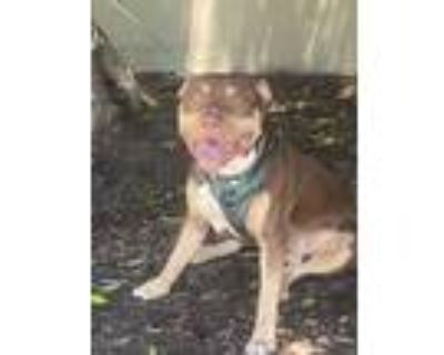Adopt Beastly a Tan/Yellow/Fawn Pit Bull Terrier / Mixed dog in Downey