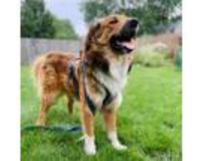 Adopt Malcolm a Great Pyrenees / Mixed dog in Bartlett, IL (32063656)