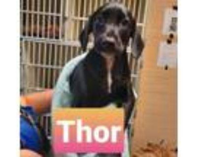 Adopt Thor Tape Measure a Doberman Pinscher