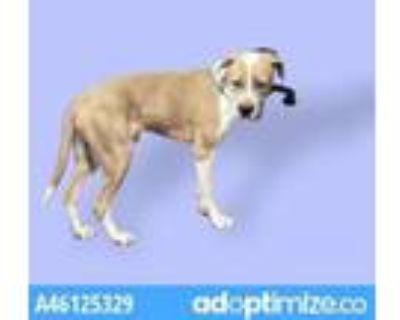 Adopt 47723916 a Domestic Short Hair